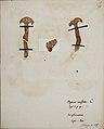 Fungi agaricus seriesI 072.jpg