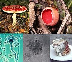 No sentido horário, desde em cima à esquerda: Amanita muscaria, um basidiomicete; Sarcoscypha coccinea, um ascomicete; pão coberto de bolor; um quitrídio; um conidióforo de Aspergillus.