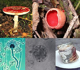 A collage of five fungi (clockwise from top left) : a mushroom with a flat, red top with white-spots, and a white stem growing on the ground; a red cup-shaped fungus growing on wood; a stack of green and white moldy bread slices on a plate; a microscopic, spherical grey-colored semitransparent cell, with a smaller spherical cell beside it; a microscopic view of an elongated cellular structure shaped like a microphone, attached to the larger end is a number of smaller roughly circular elements that collectively form a mass around it