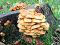 Fungi on a treestump - geograph.org.uk - 680126.jpg