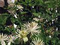 G20080822-2370--Clematis ligusticifolia (9462636462).jpg