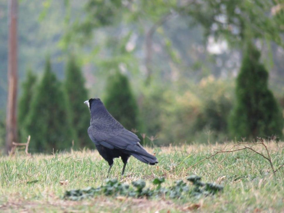 Gačac, ptice u Nišu, Srbija (5)