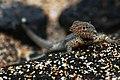 Galápagos lava lizard (4228352707).jpg