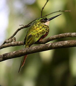 Jacamar - Rufous-tailed jacamar (Galbula ruficauda)