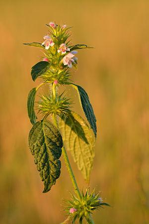 Galeopsis - Galeopsis tetrahit, common hemp-nettle
