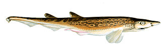 Blackmouth catshark - Early illustration of a blackmouth catshark, showing its ornate dorsal color pattern.