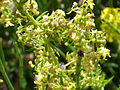 Galium verum subsp. verum Enfoque 2010-7-17 SierradeAlfacar.jpg
