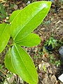 Garcinia gummi-gutta, Malabar Tamarind, kudambuli. Leaf .jpg