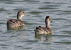meaning of garganey