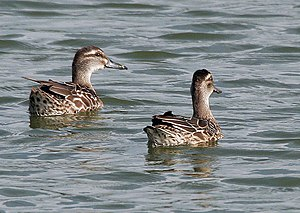 Garganey - Females