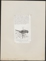 Garrulus lidthi - 1872 - Print - Iconographia Zoologica - Special Collections University of Amsterdam - UBA01 IZ15700017.tif