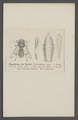 Gastrophilus - Print - Iconographia Zoologica - Special Collections University of Amsterdam - UBAINV0274 039 04 0017.tif