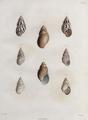 Gastropoda-Humboldt-T055.png
