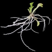 Genlisea violacea giant