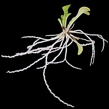 Genlisea violacea的捕虫囊和叶子