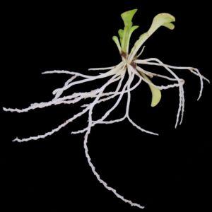 Genlisea - Genlisea violacea traps and leaves