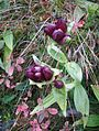 Gentiana purpurea gaustad IMG 0422.JPG