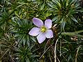 Gentianella cerastioides (15441665416).jpg