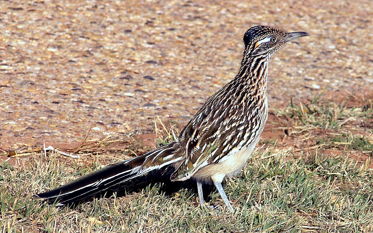 Greater roadrunner - Wikipedia