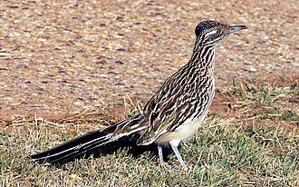 Greater roadrunner - Image: Geococcyx californianus