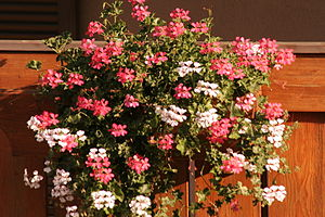 Geranie (Pelargonium) auf Balkon