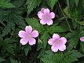 Geranium endressii002.jpg