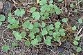 Geranium pyrenaicum kz07.jpg