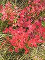 Geranium sanguineum (fall foliage) 4.jpg