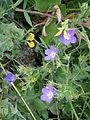 Geranium sylvaticum02.jpg
