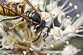 German Wasp (38419744001).jpg