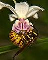 German Wasp (6834203836).jpg