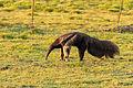 Giant anteater - Oso hormiguero (Myrmecophaga tridactyla) (8697860914).jpg