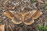 Giant silkmoth (Arsenura armida).jpg