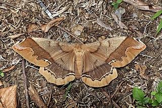 <i>Arsenura armida</i> Species of moth