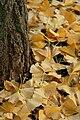 Ginkgo biloba Fächerblattbaum 06.JPG