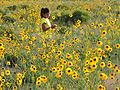 Girl in Sunflowers, August 2015 (20311043894).jpg