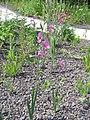 Gladiolus communis002.jpg