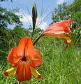 Gladiolus decoratus 2 (11831176254).jpg