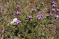 Glandularia aristigera plant1 (14625057205).jpg