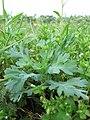 Glebionis segetum plant (01).jpg