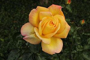 Rosa Peace - Image: Gloria Dei Bamberg