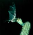 Glossophaga soricina em Pilosocereus pachycladus EARMLucena2007-2.png