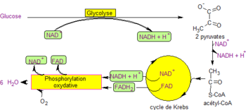 Glycolyse-respiration.png
