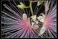 Glyphodes bivitralis (15033380515).jpg