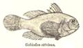 GobiodonCitrinus.png