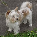 Golddust Yorkshire Terrier 3.jpg
