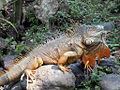 Golden Iguana (7185453418).jpg