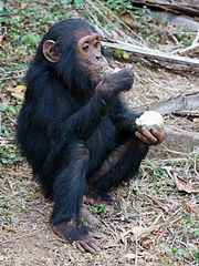 Chimp eating a fruit in Gombe National Park