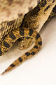 Gopher Snake Pituophis catenifer 07.jpg