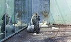 Gorila occidental (Gorilla gorilla), Tierpark Hellabrunn, Múnich, Alemania, 2012-06-17, DD 01.JPG